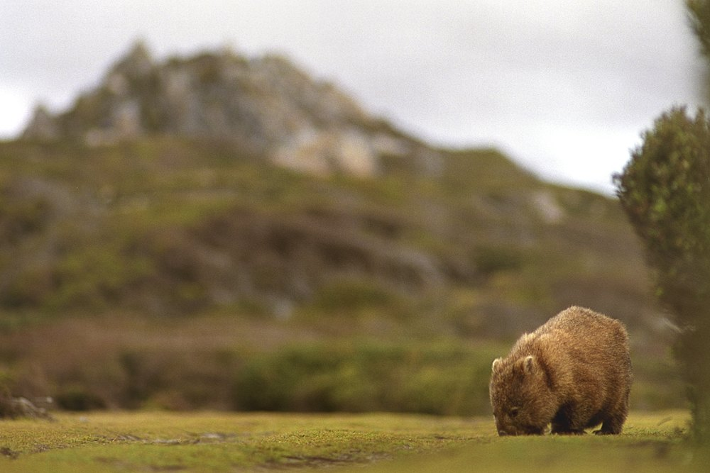 Common wombat grazing :: Near Pieman R, Tarkine Wilderness, Tas