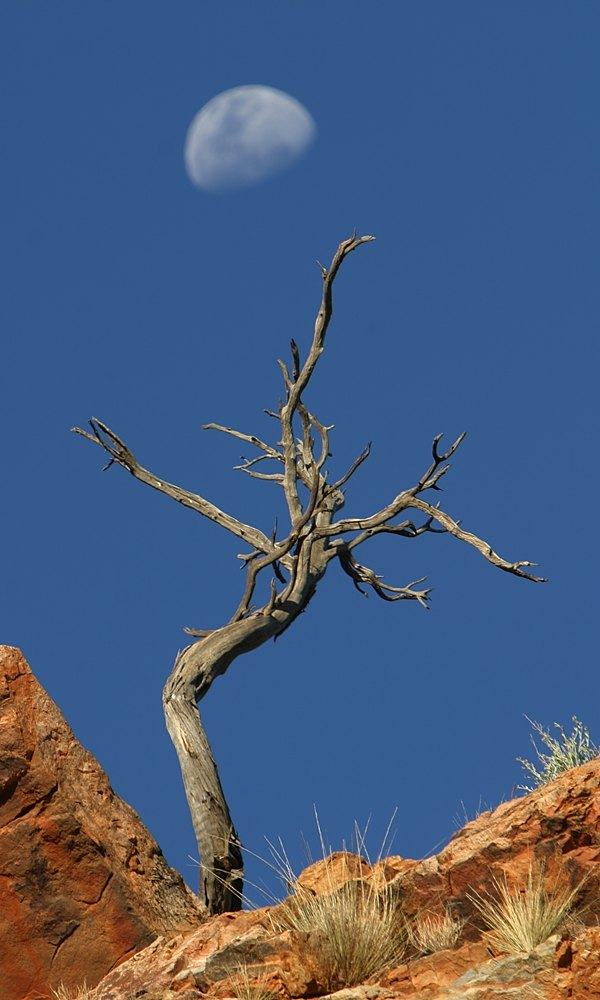 Dead tree and moon :: near Simpsons Gap, NT