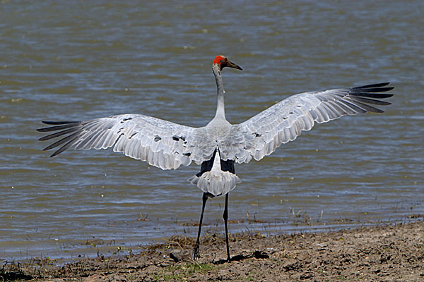 Brolga speads its wings :: Georgina River, Camooweal, QLD