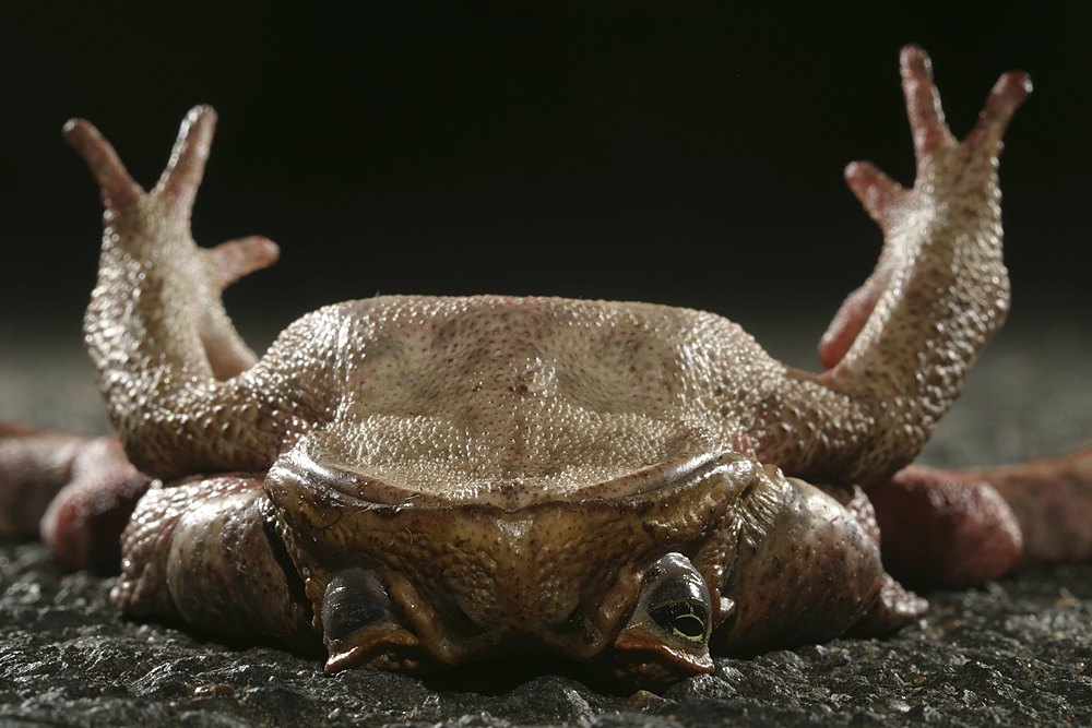Dead cane toad on road :: Bargara, QLD