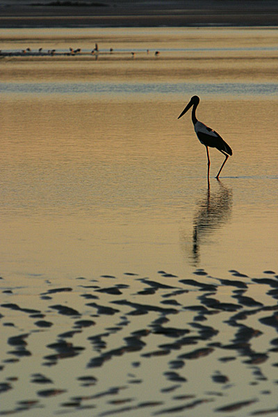 Jabiru fishing at low tide :: Skeleton Point, nr Cape Leveque, WA